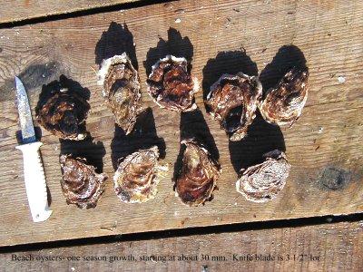 BJB_oyster1
